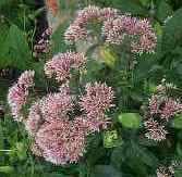 Hollow Joe Pye Weed, Queen of the Meadow, Trumpet Weed