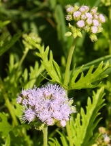 Gregg's Mist Flower, West Texas Ageratum