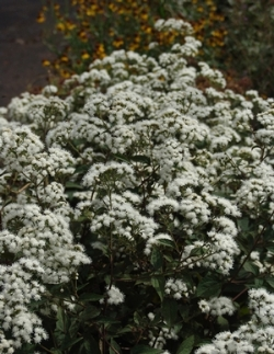 Chocolate Eupatorium, White Snakeroot