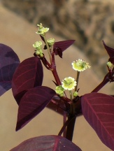 Red Spurge, Mexican Shrubby Spurge, Caribbean Copper Plant, Euphorbia cotinifolia