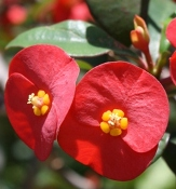 Gerold's Spurge, Thornless Crown of Thorns