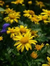 Golden Shrub Daisy, African Shrub Daisy