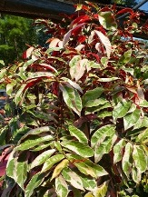 Variegated Chinese Croton
