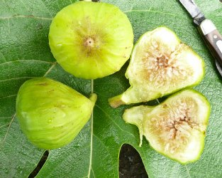 Italian Honey Fig,  a.k.a.  Lattarula Fig,  Blanche Fig, White Marseille Fig, Lemon Fig,, Ficus carica 'Blanche'