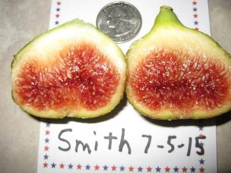 Smith Fig, Becnel's Smith Fig, Ficus carica 'Smith'