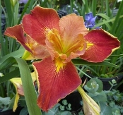 Fiesta Gal Louisiana Iris (Red, Yellow Signals, Midseason)