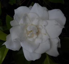 Gold Doubloon™ Gardenia