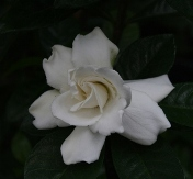 Vietchii Gardenia, Everblooming Gardenia