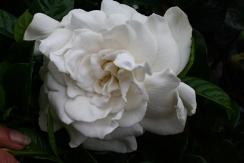 Aimee Gardenia, Aimee Yoshioka Cape Jasmine