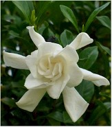 August Beauty Gardenia, Cape Jessamine, Cape Jasmine, Gardenia jasminoides 'August Beauty'