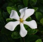 Daisy Gardenia, Cape Jessamine, Cape Jasmine, pinwheel gardenia