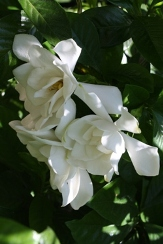 Mystery Gardenia, Cape Jasmine, Cape Jessamine