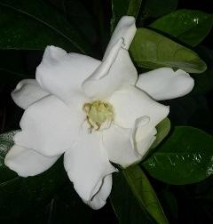 Heaven Scent Tahitian Gardenia, Star of Tahiti, Tiare
