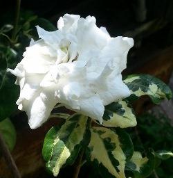 Variegated Horned Gardenia