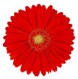 Garvinea® Sweet Love Gerber Daisy