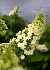 Gatsby™ Star Double Flowered Oakleaf Hydrangea