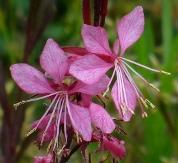 Siskyou Pink Gaura, Apple Blossom Grass, Wand Flower, Lindheimer's Bee Blossom