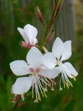 Whirling Butterflies Gaura, Apple Blossom Grass, Wand Flower, Lindheimer's Bee Blossom