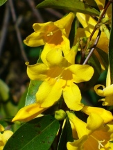 Carolina Yellow Jessamine, Carolina Jasmine, Evening Trumpet Flower, Woodbine
