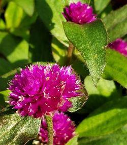 Lil Forest™ Plum Gomphrena, Globe Amaranth