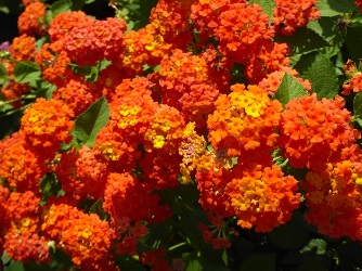 Grandpa's Pumpkin Patch Lantana (shrub, orange), Lantana x 'Grandpa's Pumpkin Patch'