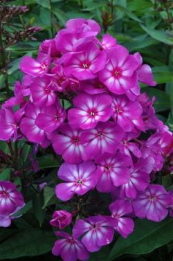 Candy Store™ Grape Lollipop Garden Phlox, Summer Border Phlox, Fall Phlox, Phlox paniculata 'Ditomsur'