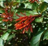 Mexican Fire Bush, Scarlet Bush, Hummingbird Bush