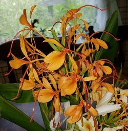 Anne Bishop Ginger (Yellow-Orange, Fragrant)