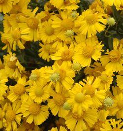 Mariachi™ Sombrero Helenium, Helen's Flower, Dogtooth Daisy, Sneezeweed