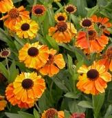 Mardi Gras Helenium, Helen's Flower, Dogtooth Daisy, Sneezeweed