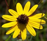 Swamp Sunflower, Narrowleaf Sunflower