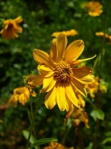 Western Sunflower, Fewleaf Sunflower, Helianthus occidentalis