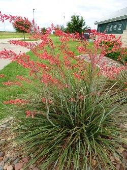 Red Yucca, False Red Yucca, Coral Yucca, Hummingbird Yucca
