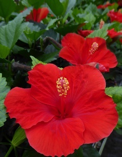 HibisQs® Multi-Tropic Red Tropical Hibiscus, Chinese Hibiscus