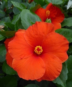 HibisQs® Multi-Tropic Orange Tropical Hibiscus, Chinese Hibiscus