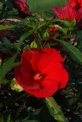 Fireball Perennial Hibiscus, Hardy Hibiscus