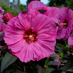 Summerific® Berry Awesome Perennial Hibiscus, Hardy Hibiscus, Hibiscus x 'Berry Awesome'