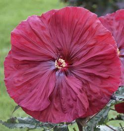Blackberry Merlot Perennial Hibiscus, Hardy Hibiscus