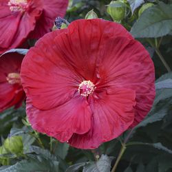 SUMMERIFIC® Cranberry Crush Perennial Hibiscus, Hardy Hibiscus
