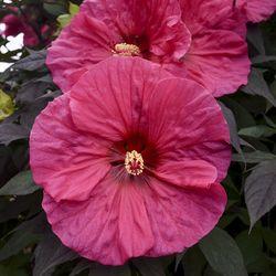 SUMMERIFIC® Evening Rose Perennial Hibiscus, Hardy Hibiscus