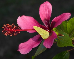 Fiji Island Tropical Hibiscus