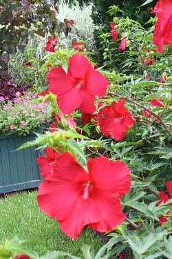 Lord Baltimore Perennial Hibiscus, Hardy Hibiscus, Hibiscus x 'Lord Baltimore'