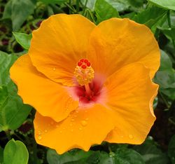 Orange Lagos Tropical Hibiscus