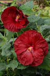 Robert Fleming Perennial Hibiscus, Hardy Hibiscus