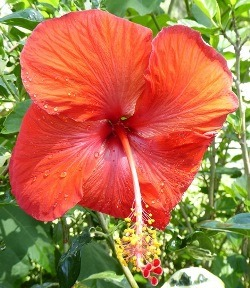 Single Red Tropical Hibiscus, Chinese Hibiscus, China Rose, Hawaiian Hibiscus, Shoe Flower, Shoe Black Plant, Hibiscus rosa-sinensis 'Single Red'
