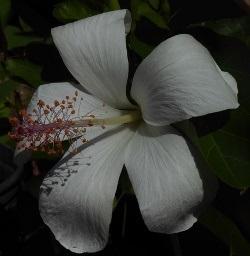 White Hawaiian Hibiscus, Fragrant Hawaiian Hibiscus