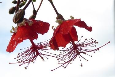 Chinese Lantern Hibiscus, Madagascar Hibiscus