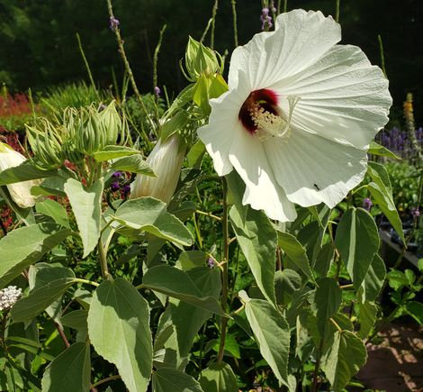 Woolly Rose-Mallow, Hairy Swamp Mallow