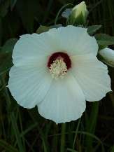 Crimson-Eyed Rosemallow, Swamp Mallow