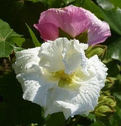 Double White Confederate Rose, Cotton Rose Mallow, Hibiscus mutabilis 'Tri-Color'